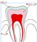 coloriage dent