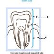 Imprimer l'activité sur la couronne et la racine de la dent