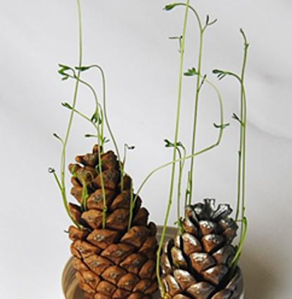Exp rience germination de lentilles dans des pommes de - Activite avec des pommes de pin ...