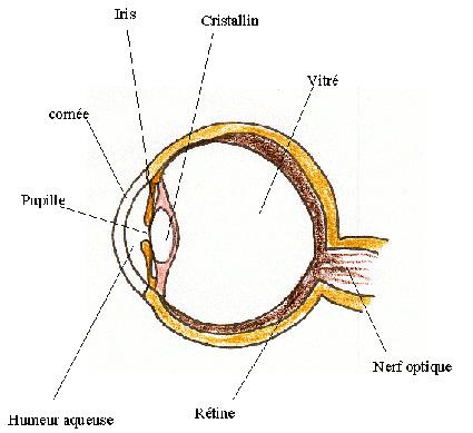 Comprendre le fonctionnement de l'oeil pour pouvoir répondre aux questions des enfants sur la vision