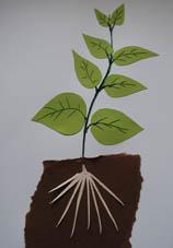 Développement des grandes feuilles du haricot
