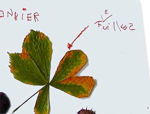 Ecrire le nom des feuilles et des fruits de l'arbre