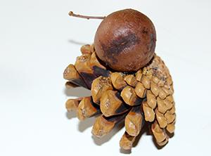 Coller la graine sur la pomme de pin