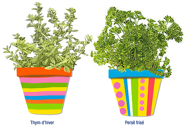 Plantation thym persil