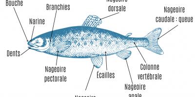 Une activité pour découvrir et apprendre l'anatomie du poisson : la tête, les différentes nageoires, les branchies ... Une activité pour les enfants de plus de 8 ans.