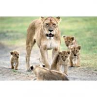 lionne et ses petits
