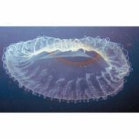 Brûlure de méduse