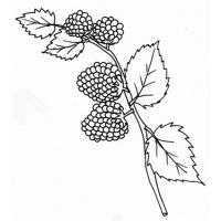 Coloriages des fruits