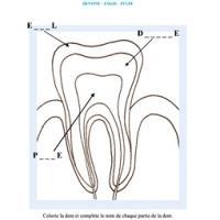 Activité sur la dent