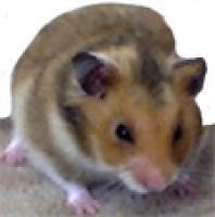 La carte d'identité du hamster doré
