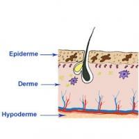Le derme de la peau