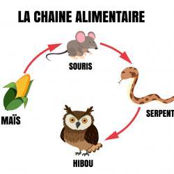Définition et illustration simple de la chaîne alimentaire. La chaîne alimentaire est une suite dans laquelle chaque être vivant mange l'être vivant qui le précède. La chaî