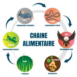 La chaîne alimentaire comprend 3 types de maillons jouant chacun un rôle essentiel dans le cycle de la vie : les producteurs : les producteurs sont les être vivants se trouvant au début de la chaîne alime