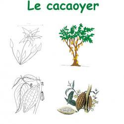 Imprimer la planche sur le cacaoyer