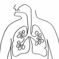 Coloriage des poumons, un organe du corps humain