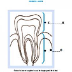 Activité sur la couronne et la racine de la dent - Planche anatomique