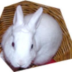 La carte d'identité; du lapin nain