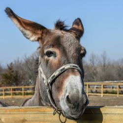 Voici un jeu très amusant à mettre en place : le jeu de la queue de l'âne. Un jeu idéal pour une kermesseou un anniversaire. Ce jeu se fait les yeux bandés, il faut tenter de replacer la queue de l'âne sur l'image.