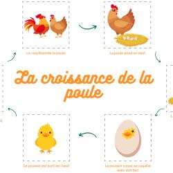 Découpe les différences étapes du développement de la poule et remets les dans le bon ordre afin de comprendre le cycle de la poule