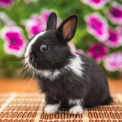 Un mini dossier sur le lapin nain et les enfants. Retrouvez des articles sur le lapin nain et des coloriages de lapins