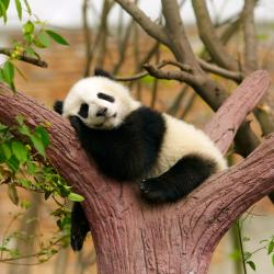 panda - mot du glossaire Tête à modeler. Définition et activités associées au mot panda.