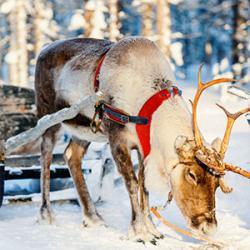 Un article pour répondre à la question : que mangent les Rennes du Père Noël ?