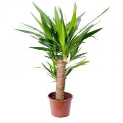 yucca - mot du glossaire Tête à modeler. Définition et activités associées au mot yucca.