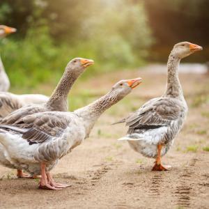 oie - mot du glossaire Tête à modeler. Définition et activités associées au mot oie.
