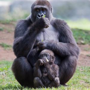 gorille - mot du glossaire Tête à modeler. Définition et activités associées au mot gorille.