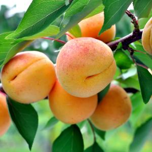 Abricot et abricotier : Mot du glossaire Tête à modeler. L'abricot est un fruit charnu comestible. L'abricot est le fruit de l'abricotier.
