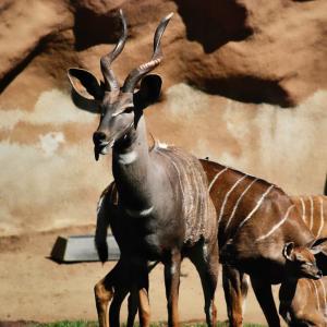 Addax : Mot du glossaire Tête à modeler. L'addax est une antilope de couleur gris clair aux cornes en forme de spirale