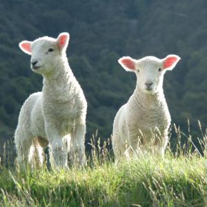Agneau : Mot du glossaire Tête à modeler. L'agneau est le petit de la brebis et du mouton.  Activités associées.