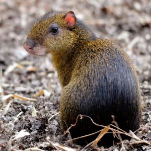 Agouti : Mot du glossaire Tête à modeler. L'agouti est un mammifère, un gros rongeur au corps trapu et aux pattes courtes.  Activités associées.
