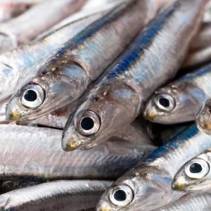 Anchois: Mot du glossaire Tête à modeler. L'anchois est un petit poisson de mer pouvant se manger frais ou en conserve.  Activités associées.