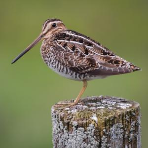 Bécasse - mot du glossaire Tête à modeler.Une bécasse est un oiseau migrateur au long bec fin. Définition et activités associées au mot bécasse.