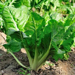 bette - mot du glossaire Tête à modeler. La bette est une plante dont les tiges blanches se mangent en légumes. Definition et activités associées au mot bette.