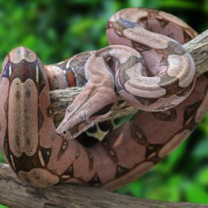 boa - mot du glossaire Tête à modeler.Le Boa est un serpent non venimeux. Définition et activités associées au mot boa.