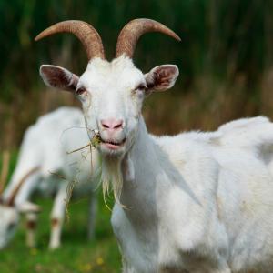 bouc - mot du glossaire Tête à modeler. Le bouc est le mâle de la chèvre. Définition et activités associées au mot bouc.