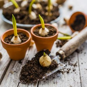 bulbe - mot du glossaire Tête à modeler. Le bulbe est la partie renflée de certaines plantes. Définition et activités associées au mot bulbe.