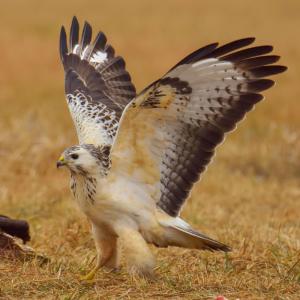 buse - mot du glossaire Tête à modeler. La buse est un petit oiseau de proie. Définition et activités associées au mot buse.