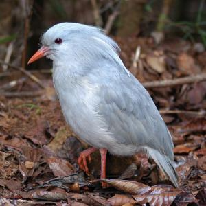cagou - mot du glossaire Tête à modeler. Un cagou est un oiseau échassier.  Définition et activités associées au mot cagou.