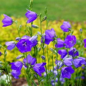 campanule - mot du glossaire Tête à modeler. La campanule est une plante. Définition et activités associées au mot campanule.