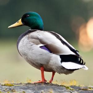 canard - mot du glossaire Tête à modeler. Le canard est un oiseau à pieds palmés. Définition et activités associées au mot canard.