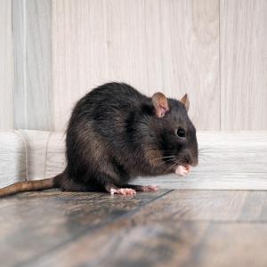 rat - mot du glossaire Tête à modeler. Définition et activités associées au mot rat.