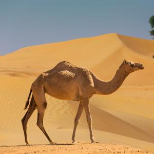 chameau - mot du glossaire Tête à modeler.   Définition et activités associées au mot chameau.