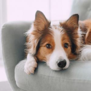 Chien - mot du glossaire Tête à modeler.  Le chien est un mammifère carnivore domestique. Définition et activités associées au mot Chien.