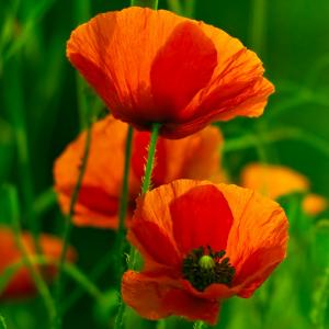 coquelicot - mot du glossaire Tête à modeler. Le coquleicot est une fleur.  Définition et activités associées au mot coquelicot.