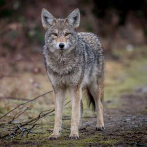 coyote - mot du glossaire Tête à modeler.   Définition et activités associées au mot coyote.
