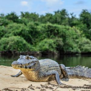 Crocodile - mot du glossaire Tête à modeler.   Définition et activités associées au mot Crocodile.
