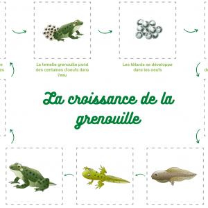 Une activité pour découvrir les différentes étapes du cycle de croissance de la grenouille. Un jeu pour retrouver toutes les stades de développement du têtard à la grenouille.